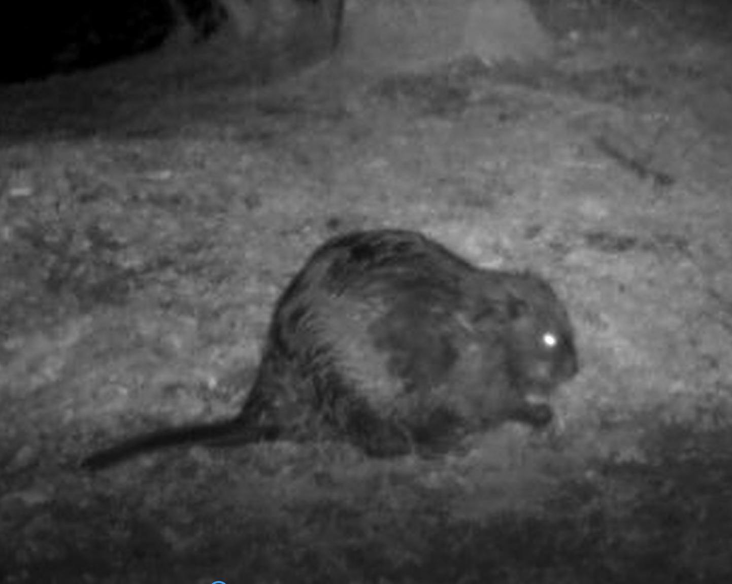 Beaver 2.png