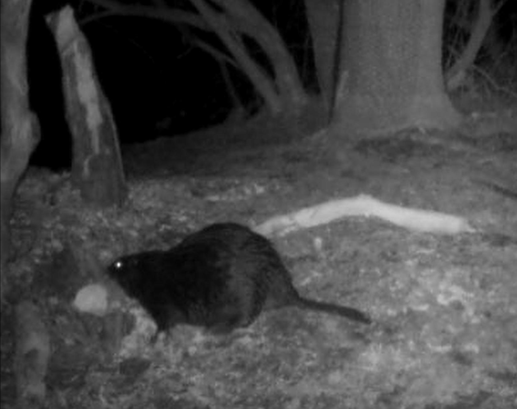Beaver 1.png