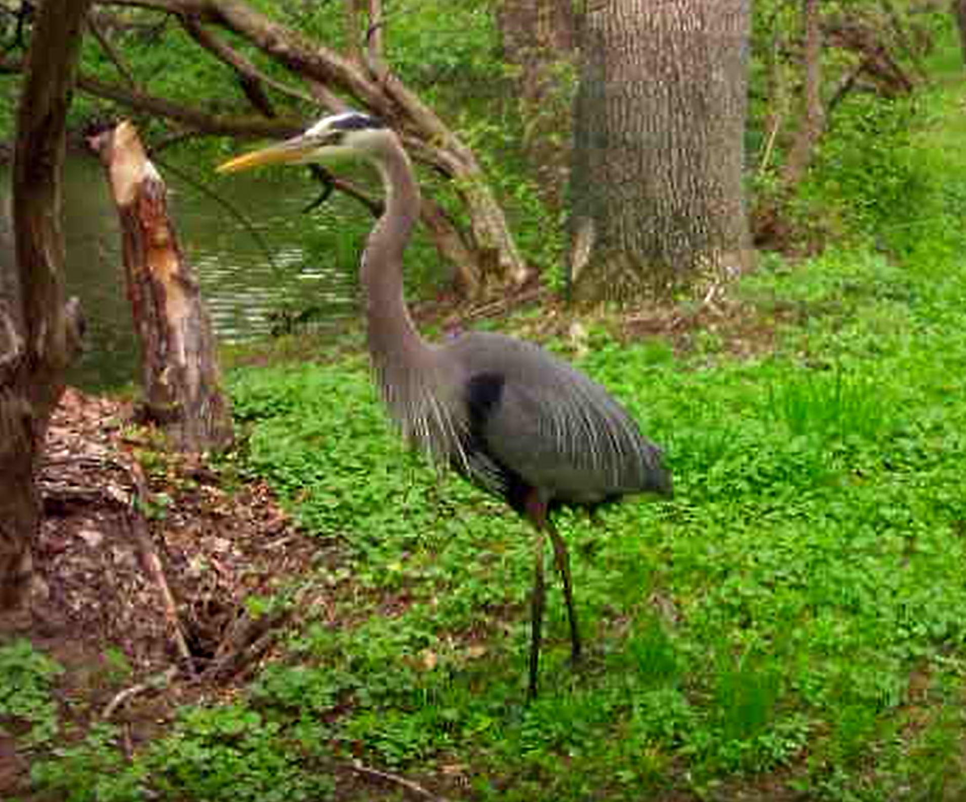Blue Heron.png