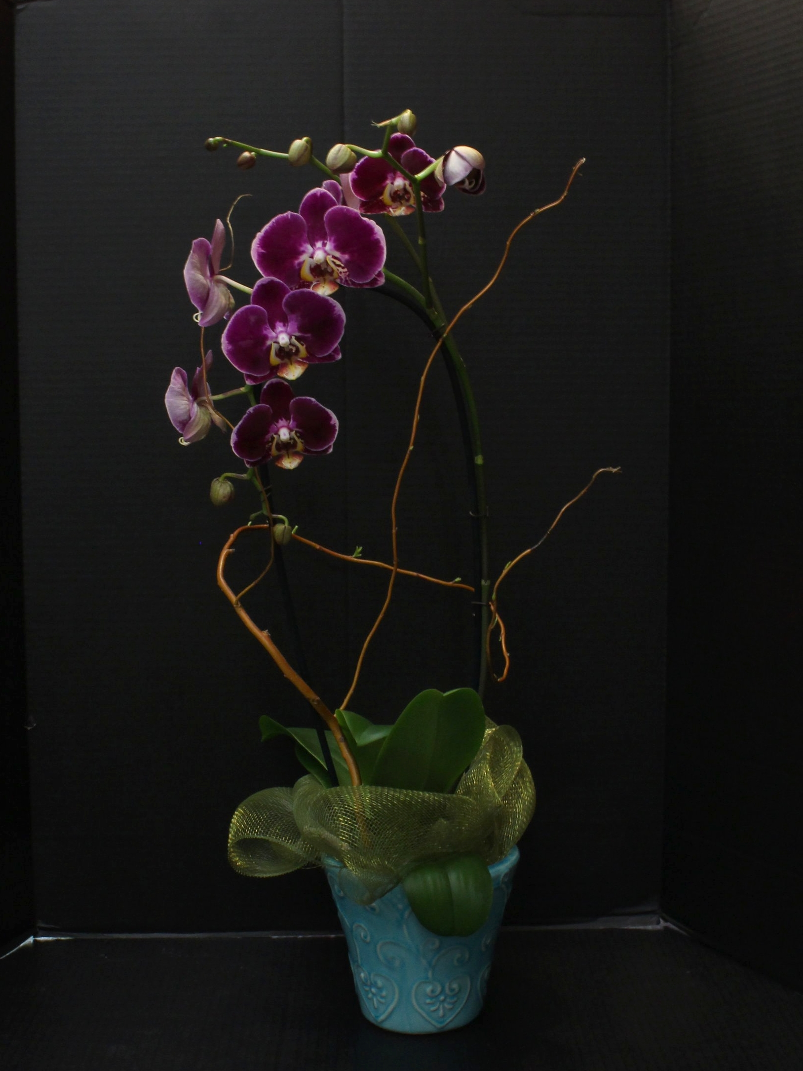 Single Spayed Orchid