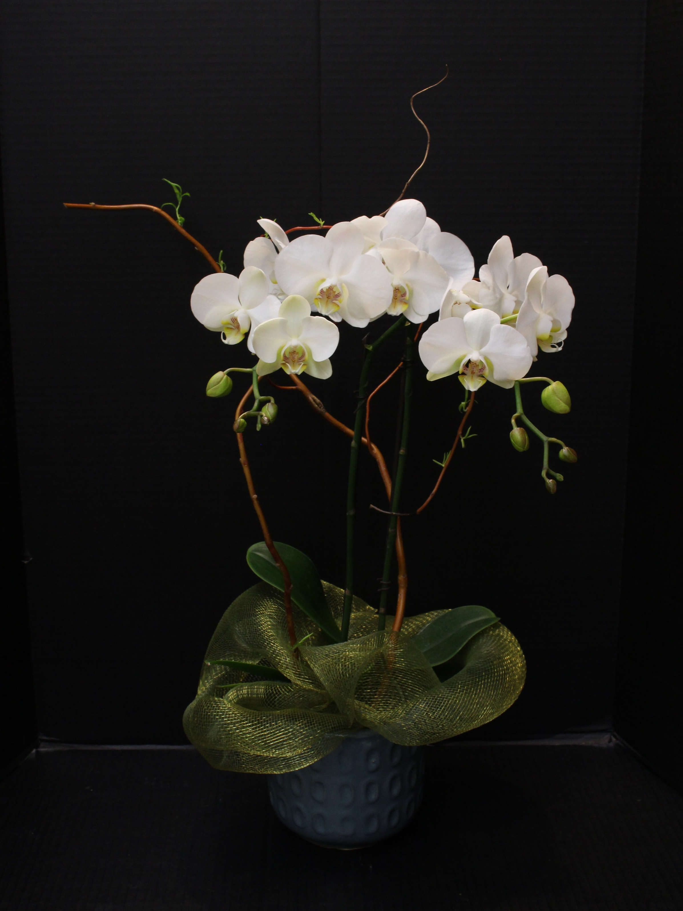 Double Spayed Orchid
