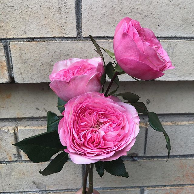 Our fresh pick of the day, David Austin Roses