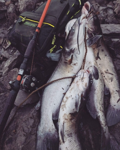 A mess of channel catfish from cold water are delicious, just make sure to through a few back for everyone else.
