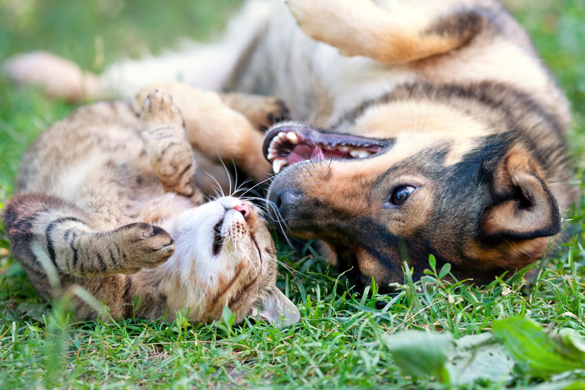 Dog-Dog_Guide-A_dog_and_a_cat_rolling_around_on_the_grass.jpg