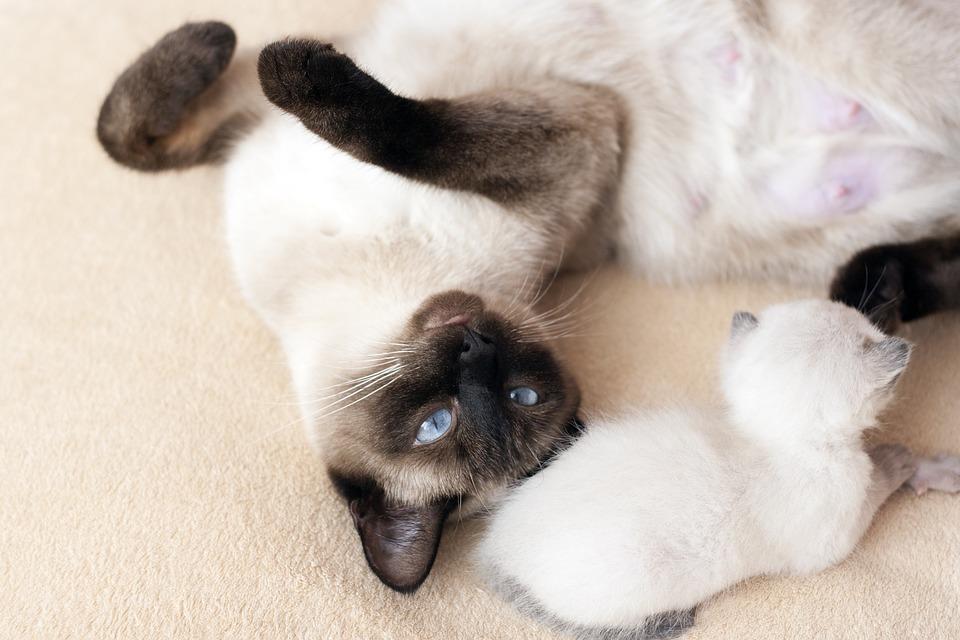 thai-cat-1710123_960_720.jpg