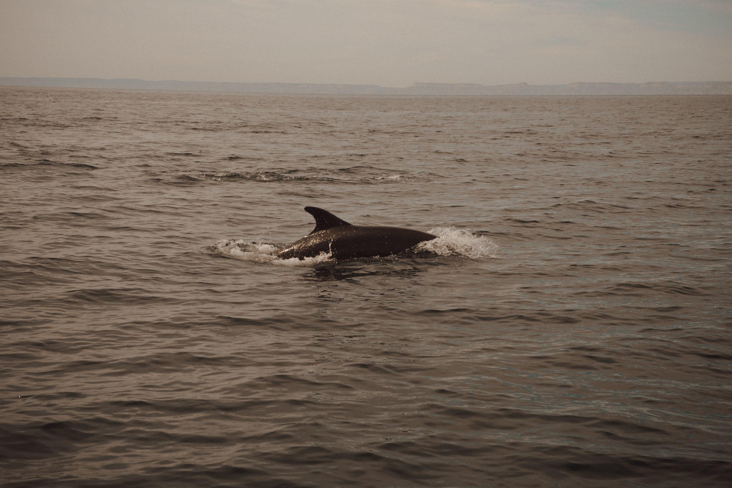 dolphins-samlandreth