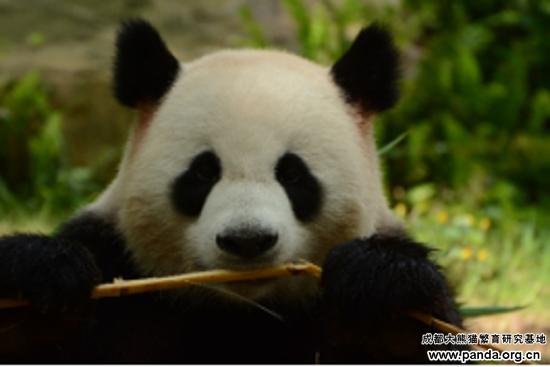 Source:  Chengdu Research Base of Giant Panda Breeding