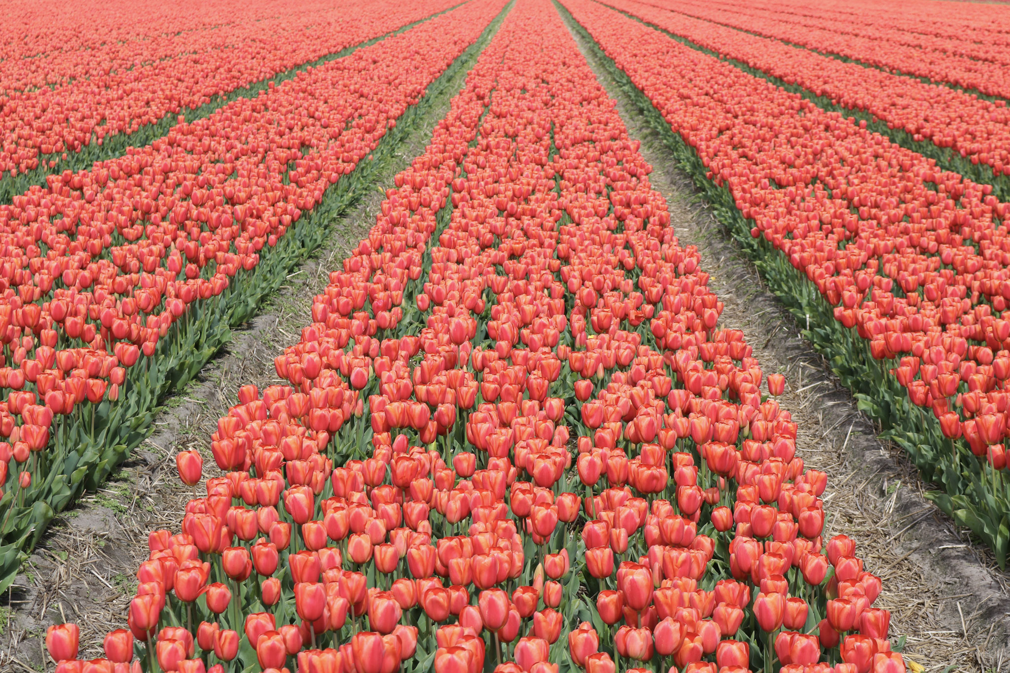Kilometers of tulips!