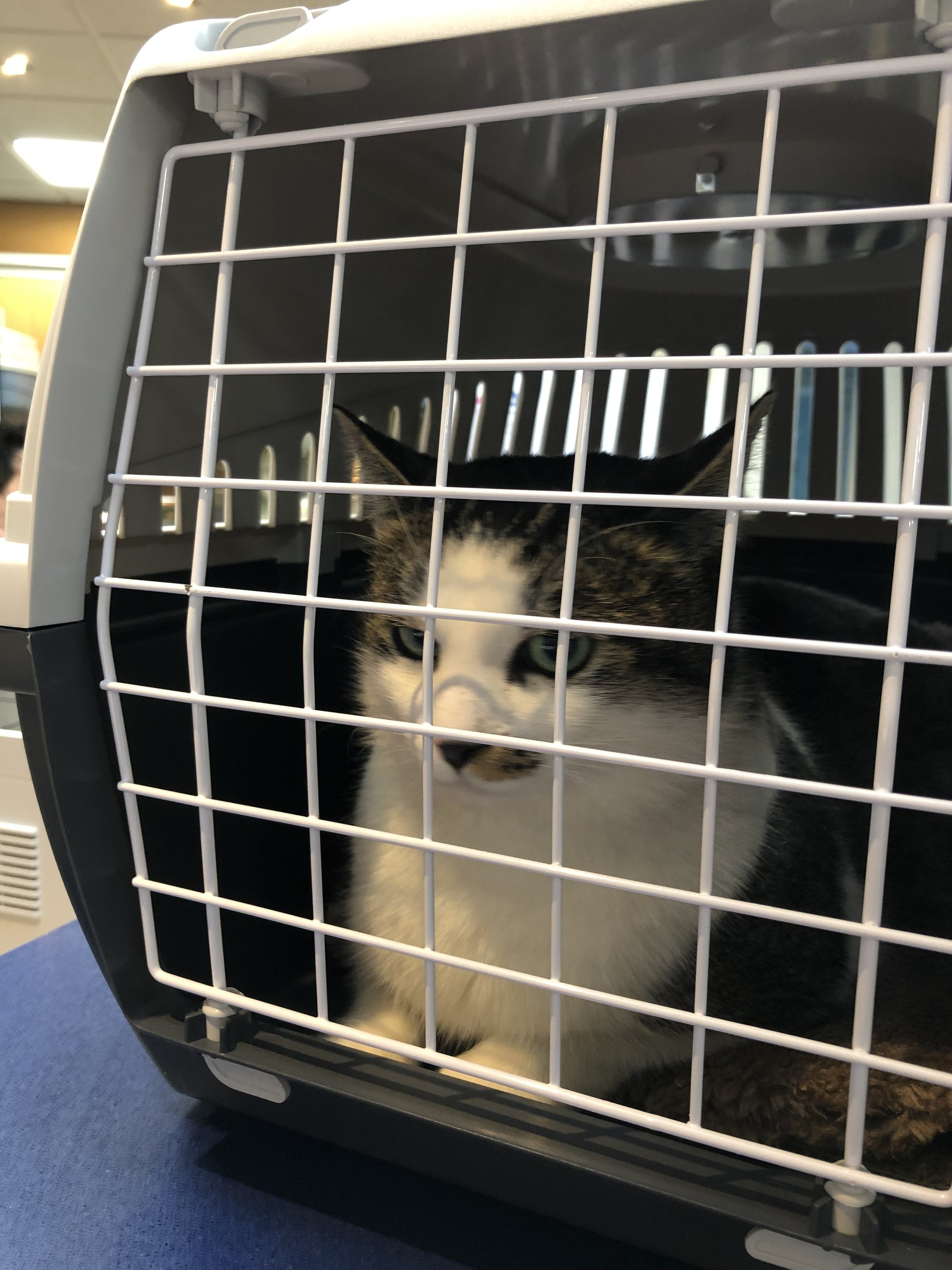 December 1, 2018: Milo at the shelter, waiting to come home with us.