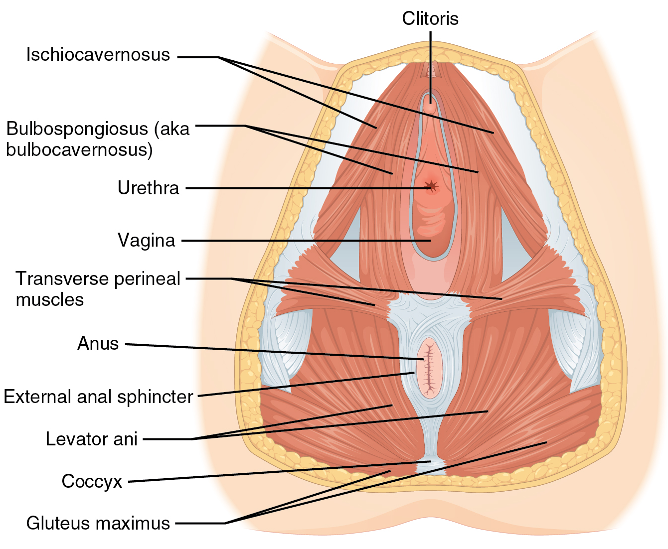 1116_Muscle_of_the_Female_Perineum.png