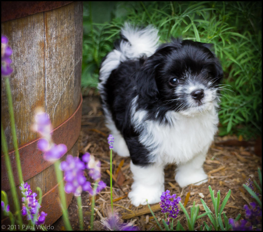 wpid168-20110618_silky_puppies_054.jpg