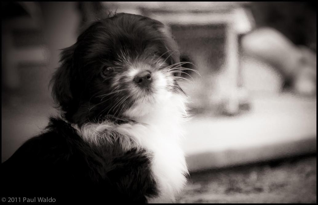 wpid174-20110618_silky_puppies_107.jpg