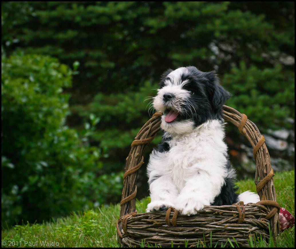 wpid186-20110618_silky_puppies_282.jpg