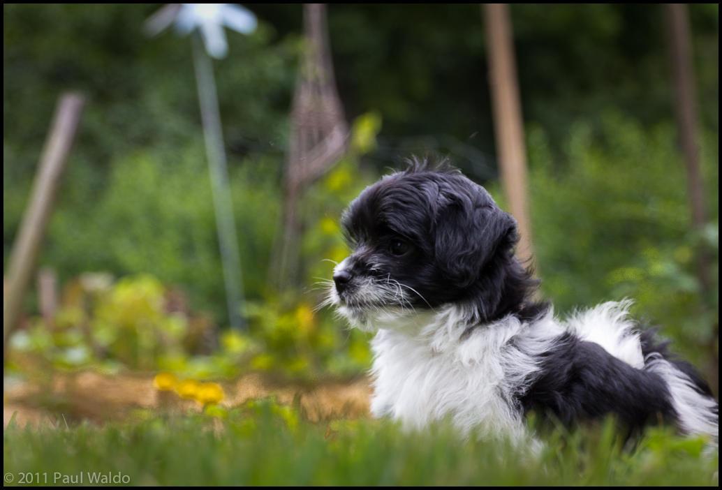wpid182-20110618_silky_puppies_182.jpg