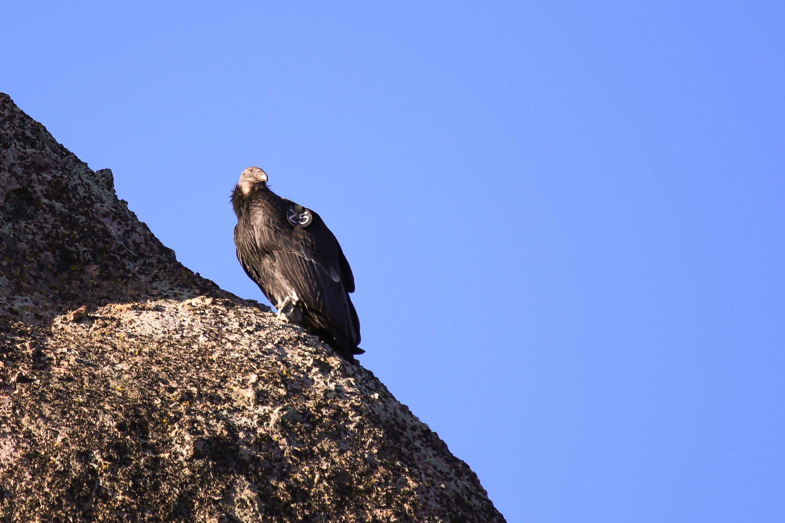California Condor at Pinnacles National Park,  photo  by Joe Parks /  CC BY .