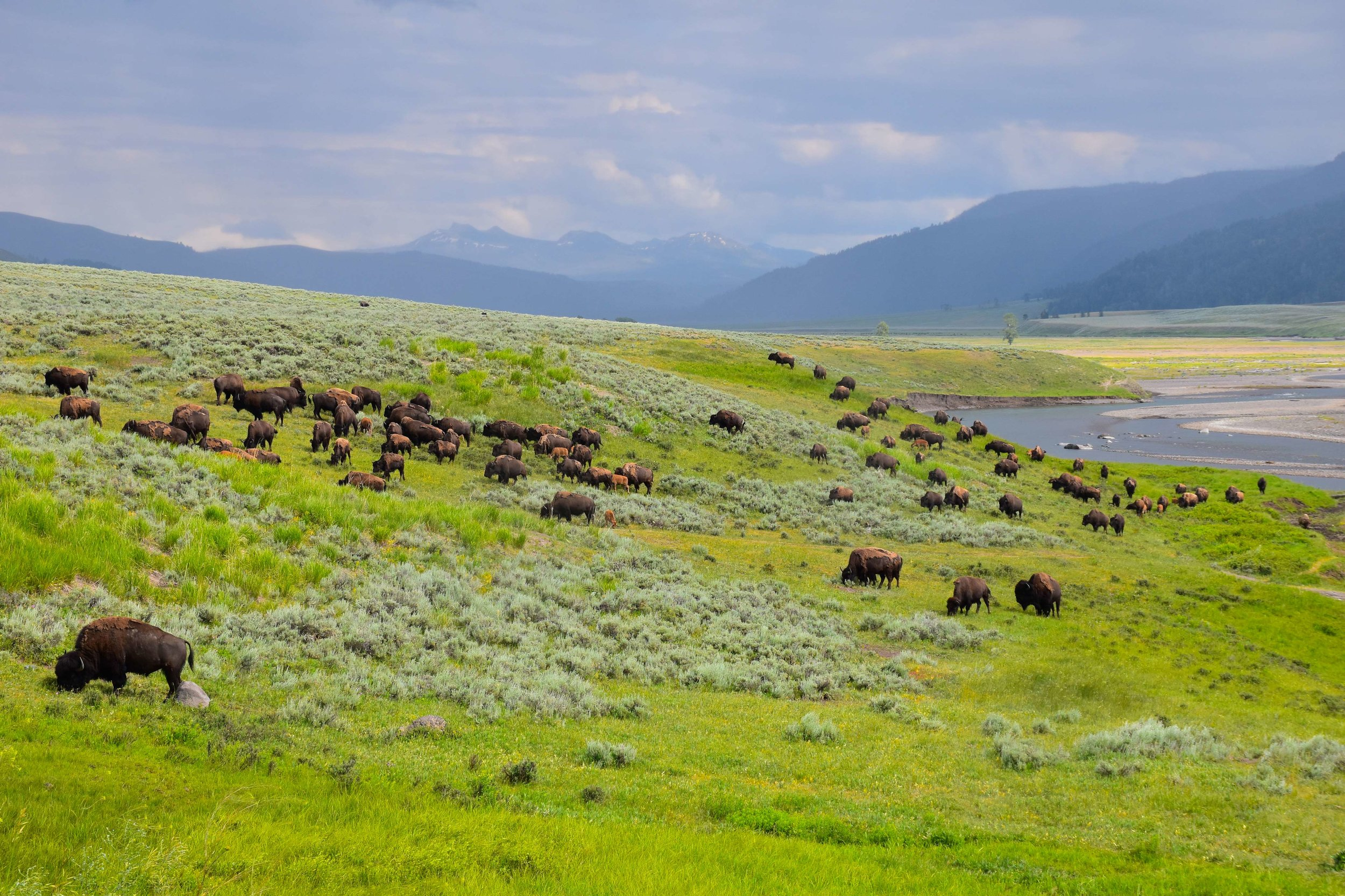Bison in Yellowstone, photo by Chris Umpierre