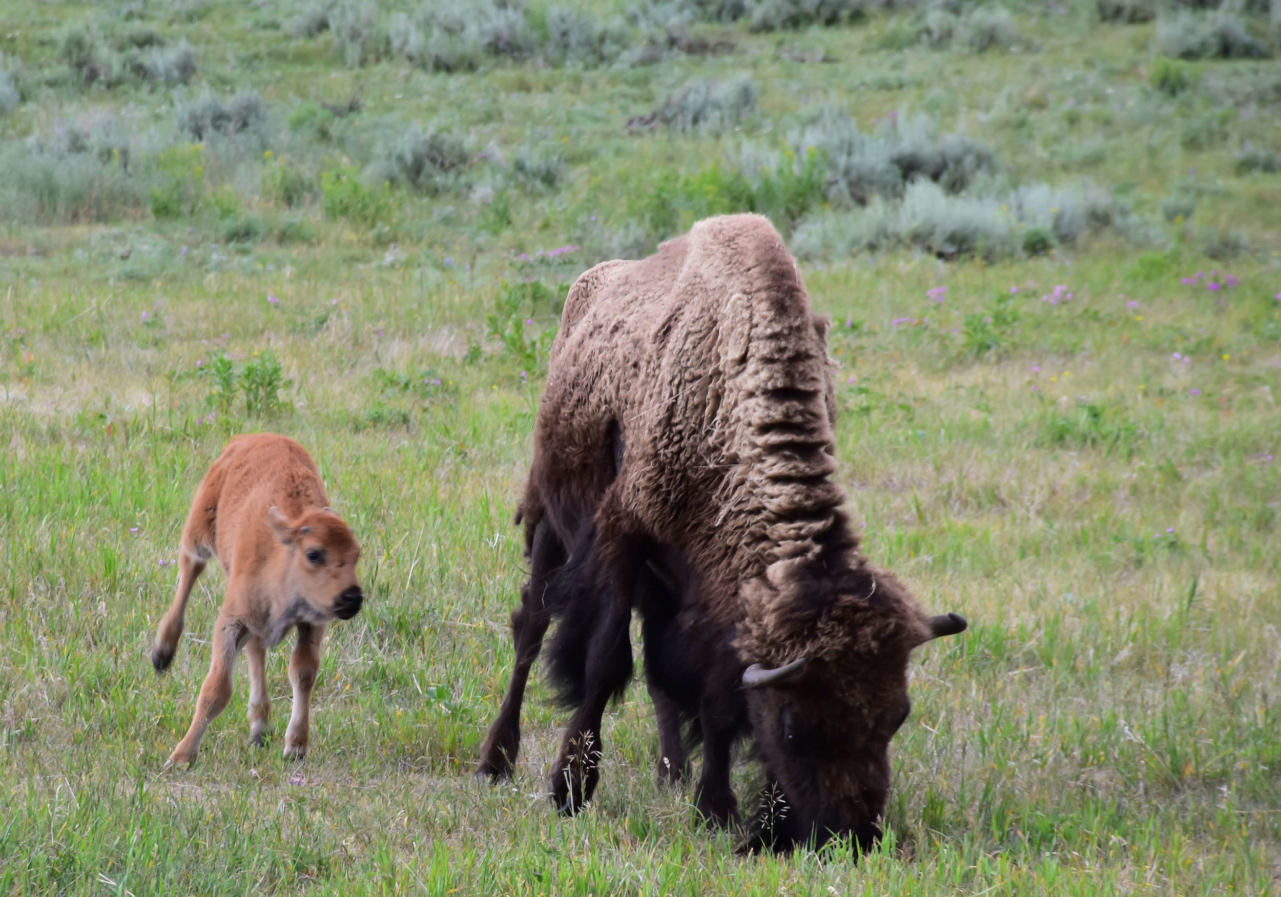 Bison and a calf, photo by Chris Umpierre.