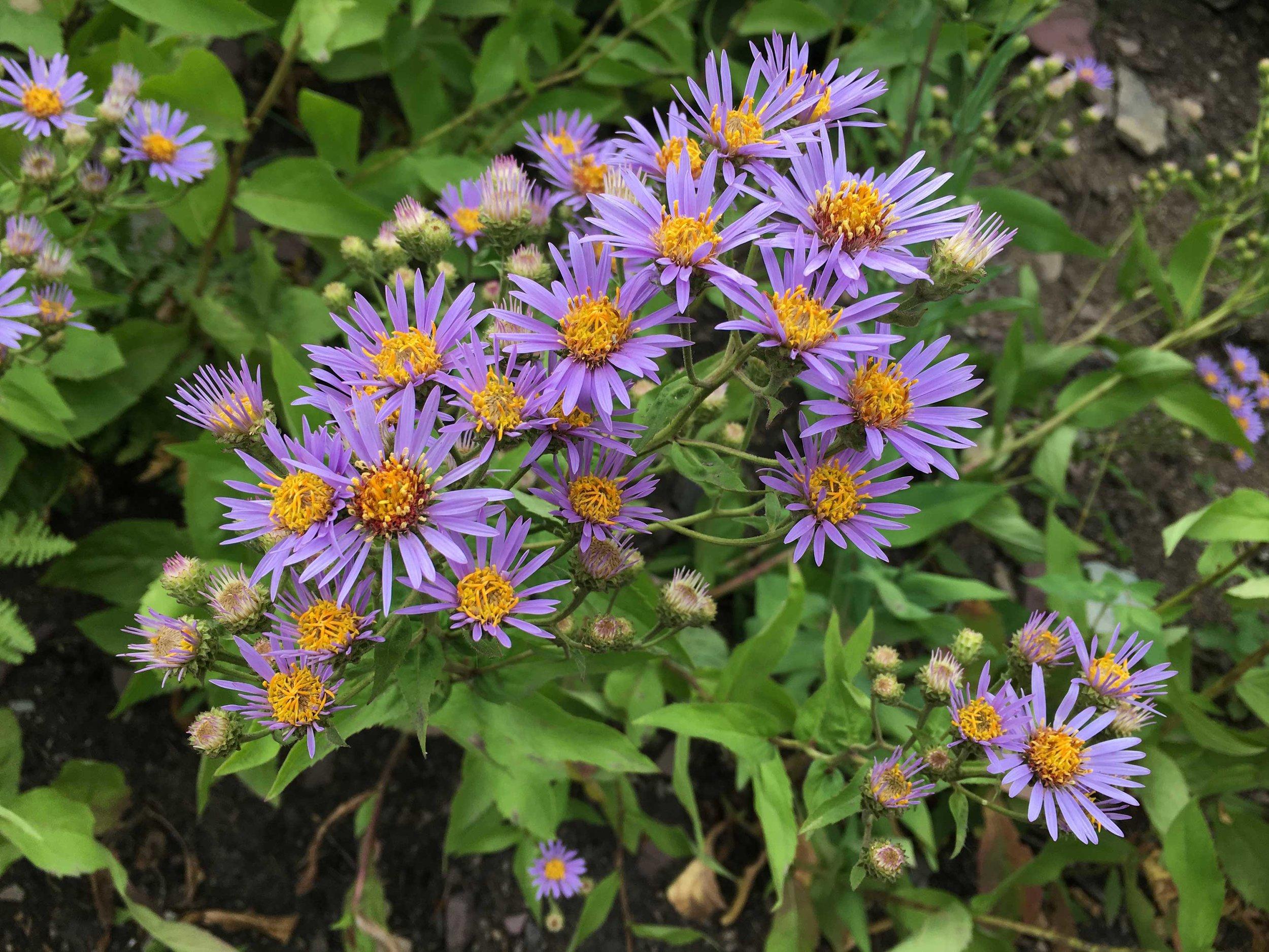 Summer wildflowers in the Two Medicine region.