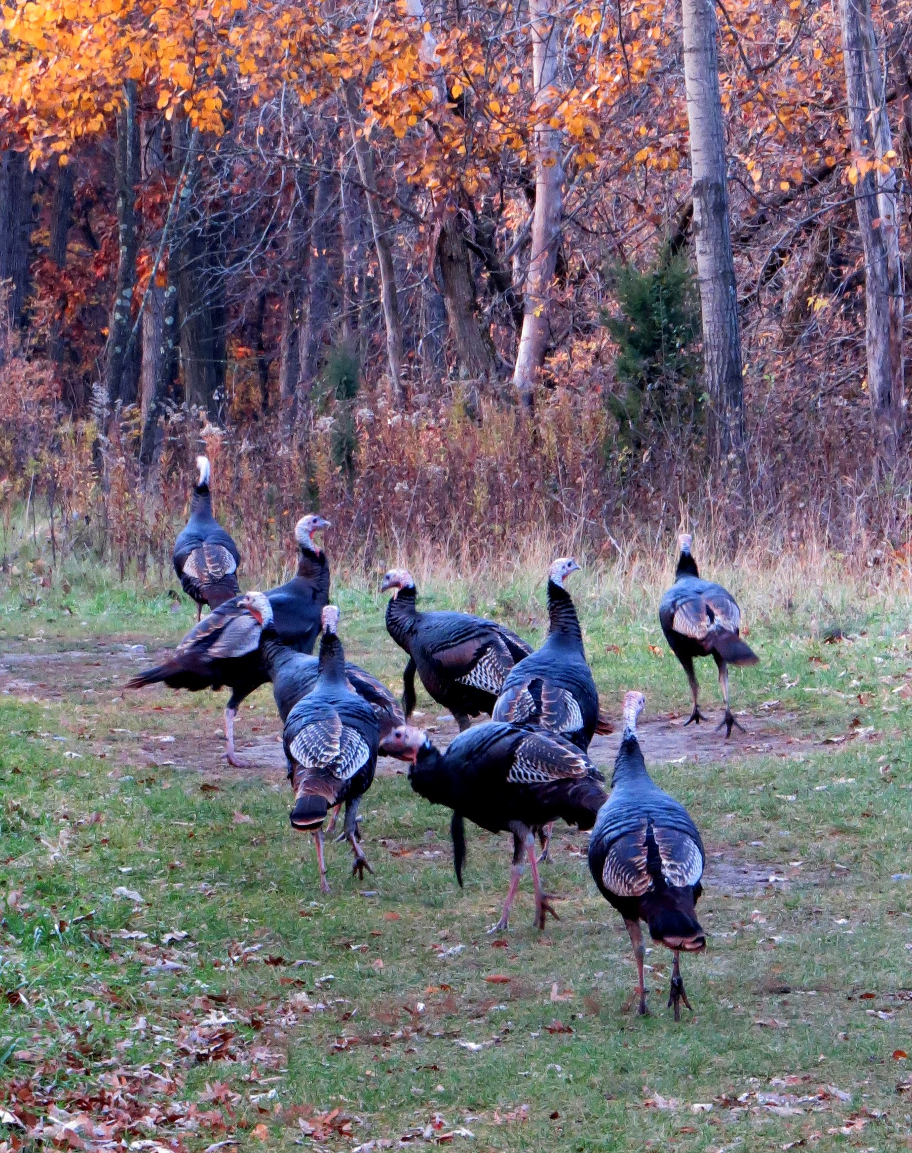 Turkeys on parade, photo by Janet Frost.
