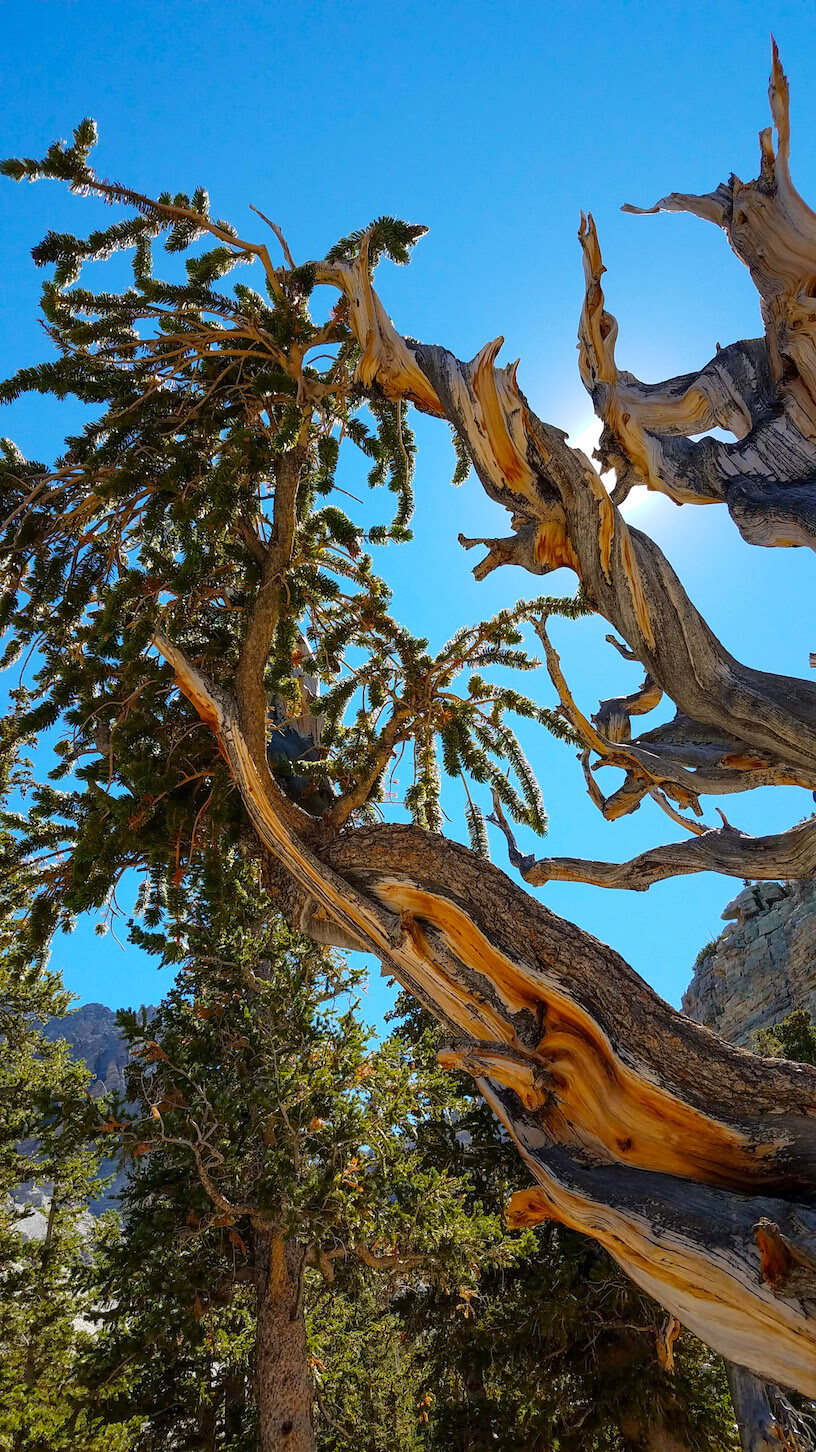 I come to talk with the Bristlecone Pines