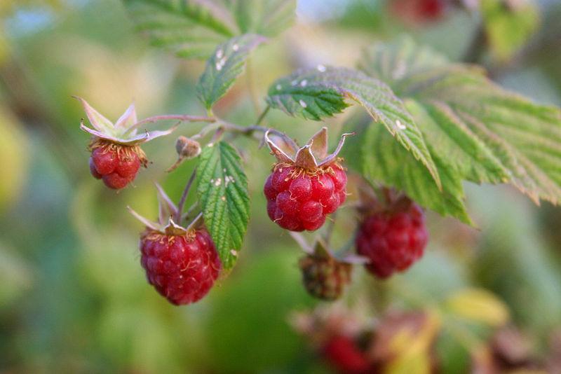800px-Wild_raspberries_close-up.jpg