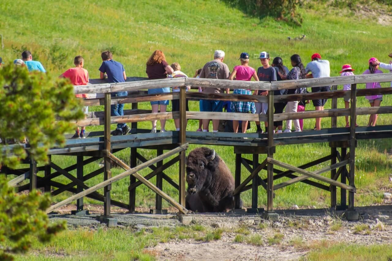 Bison and boardwalk, photo by Derek Wright.
