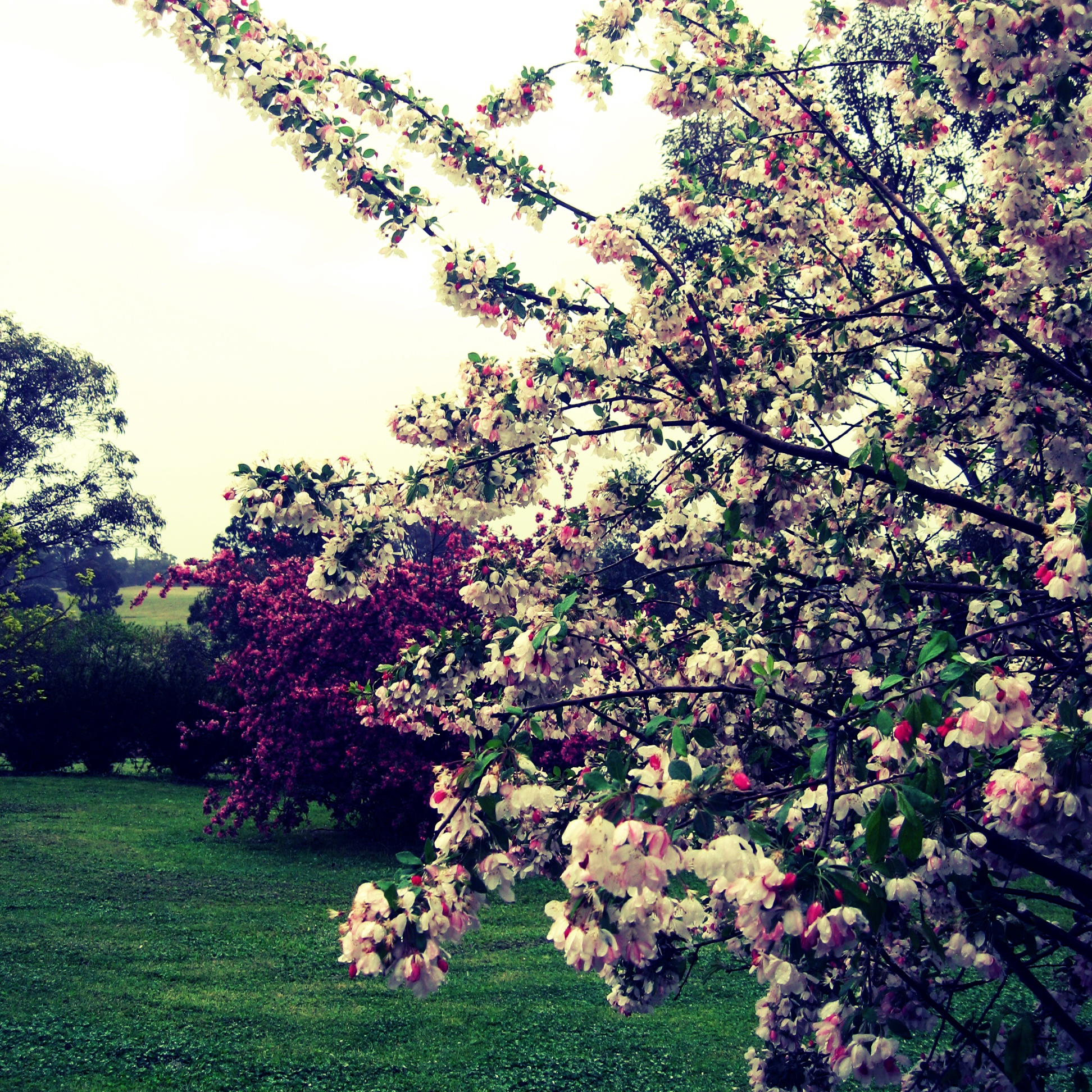 Gorgeous blossoms in spring.jpg