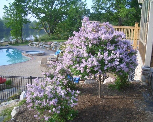 Brick outdoor patio with pool and beautiful purple blossoming trees