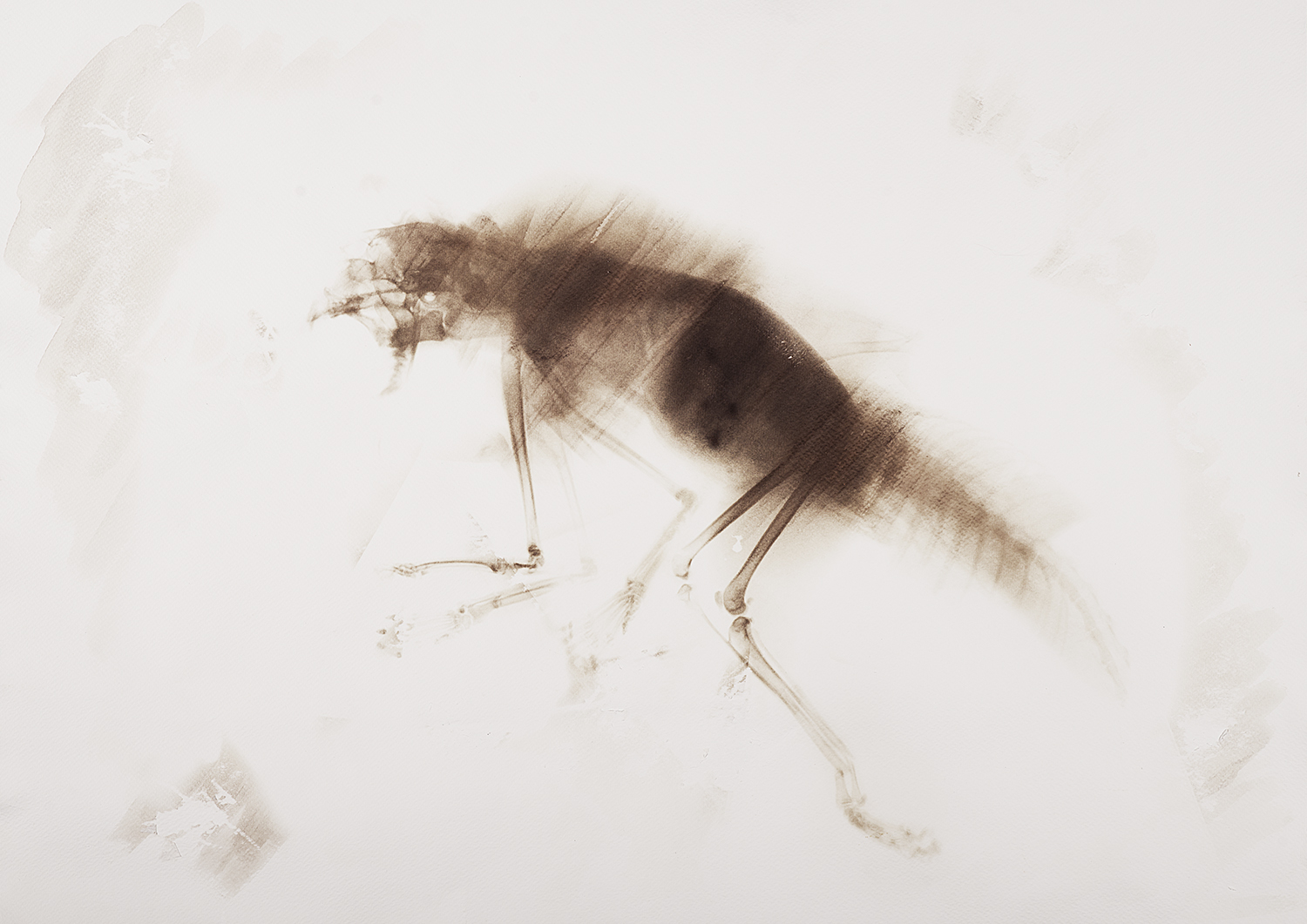 This lonely, carrion-eating animal lived on the prairie. While the body was furry, its legs and its chap were hairless, so that it could get rid of the blood and pieces of meat easily in order to clean itself and to avoid infections. The wounds and scars all over its bones give evidence of the fact that its lifestyle must have led to several fights with other species over the carcasses. The thick fur was functioning as a useful protective layer in the battles. The two extra front legs between the front limbs were used for carrying rather than walking.