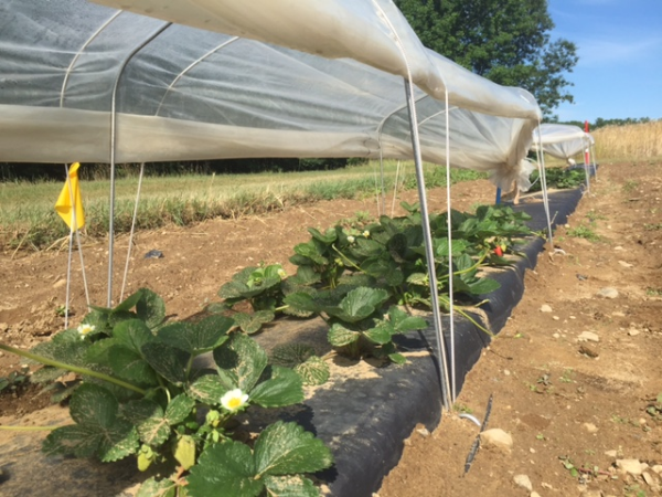 One ripening strawberry can be seen in the back of the plot.