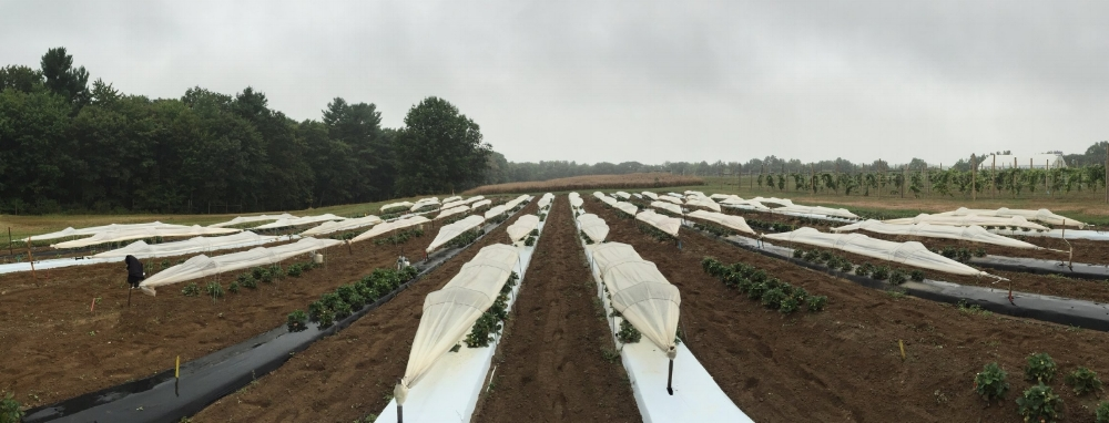 Strawberry field in production - picture taken 7 September 2016