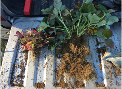 LEFT: serious grub damage to plant's root system, and RIGHT: a healthy strawberry plant still producing fruit the week of Thanksgiving. Picture taken 20 November 2016 by K. Orde.