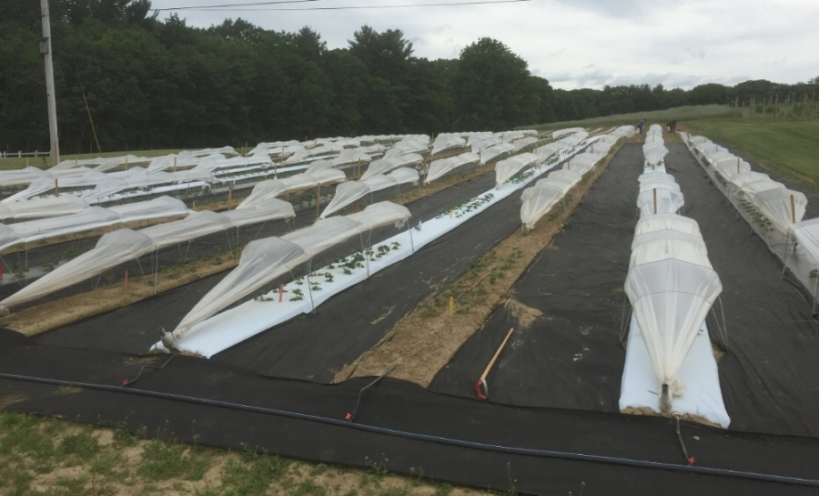 UNH's 2017 Low Tunnel Material Study at the NH Ag. Exp. Station Woodman Farm