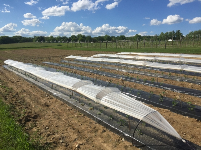 Day-neutral Variety Experiment. All varieties are being grown both under low tunnels and uncovered. We have four replications of each variety for both cover treatments.