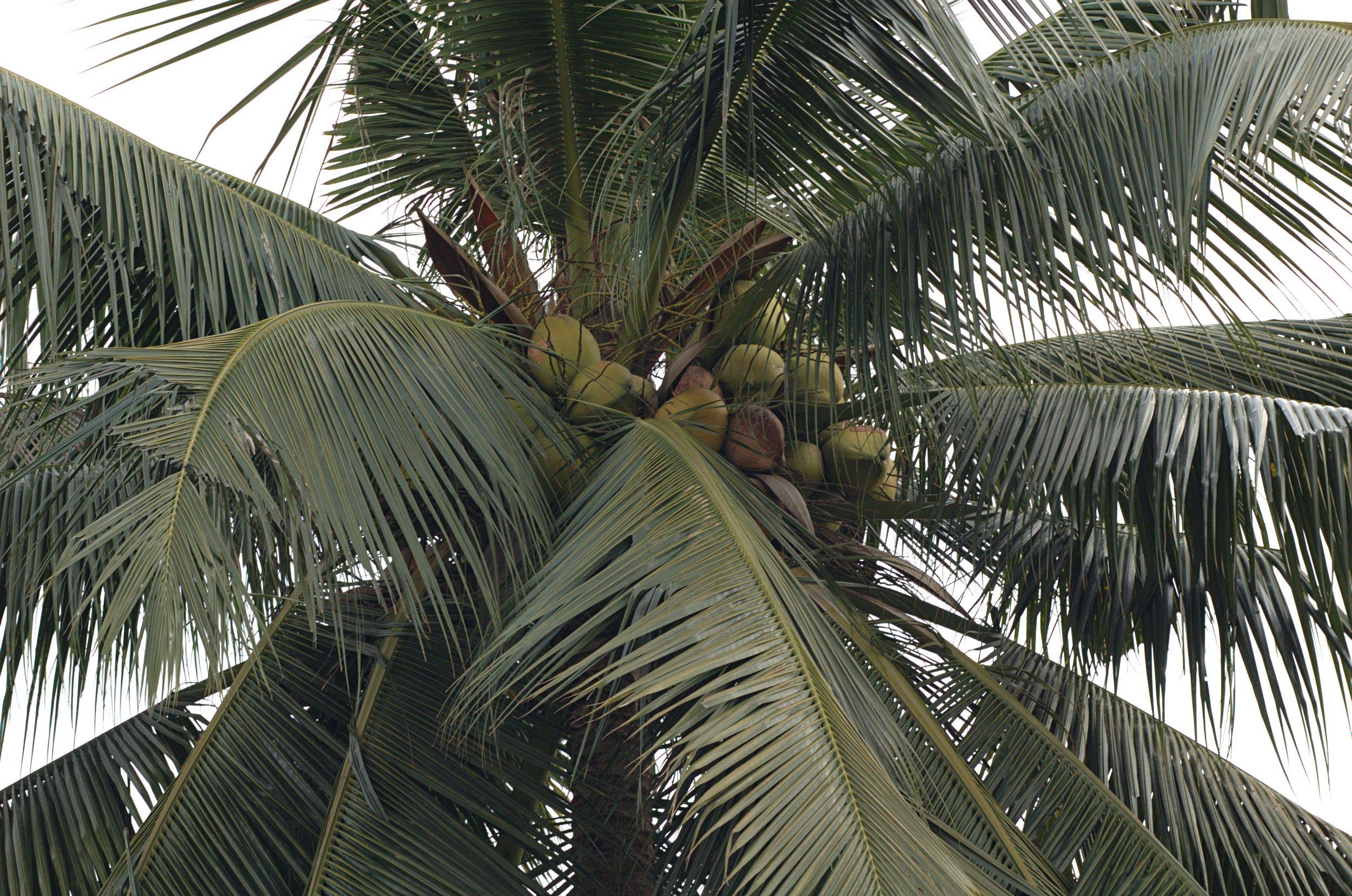Cocos-nucifera.jpg