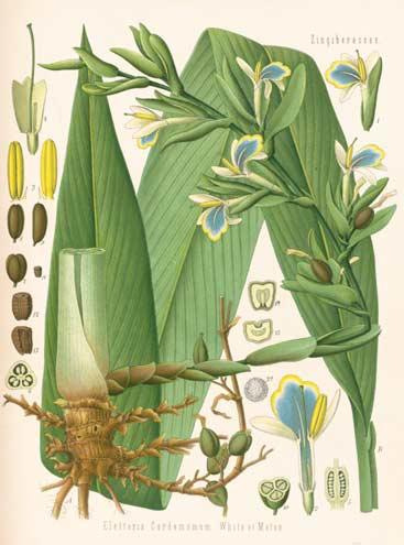 Illustration of Elettaria cardamomum by Franz Eugen Köhler, from Köhler's Medizinal-Pflanzen, 1897.  Source: Kew Gardens