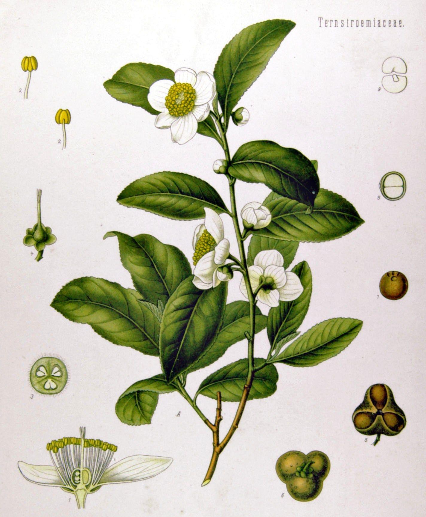 Botanická ilustrace čajovníku čínského.
