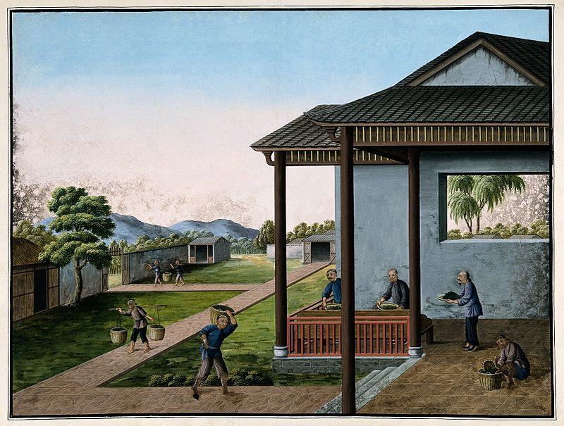 Trhání čajových lístků podle rytiny z Wellcome Collection.