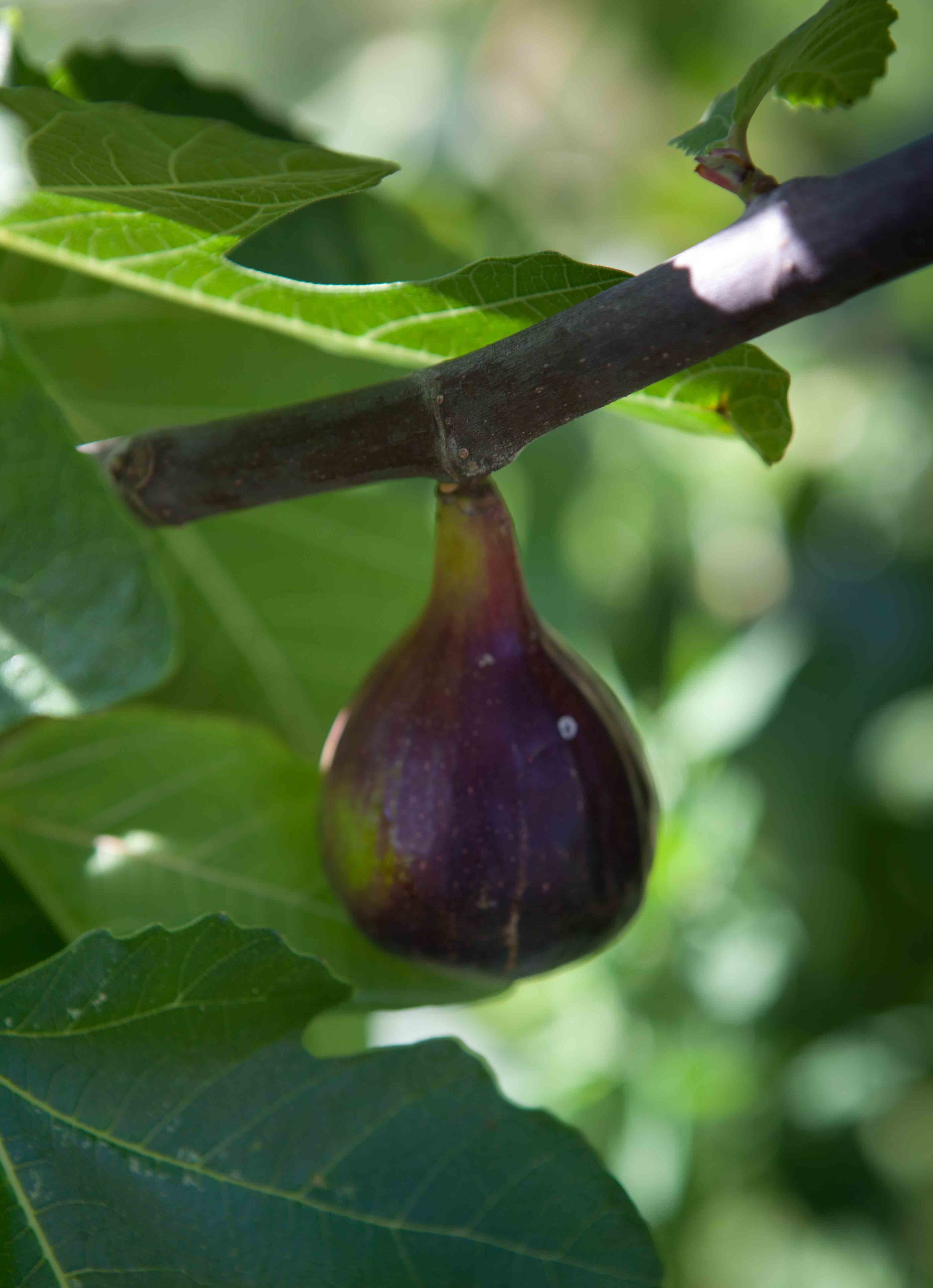 Figs at Finca Buenvino self-catering cottages Huelva
