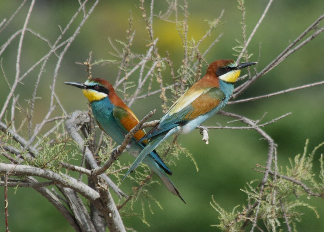 bee-eaters, birdsong workshops in Spain