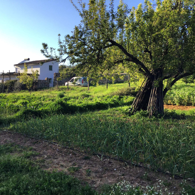 Frühling mit den Zwiebeln. Blick aufs Haus Luis.