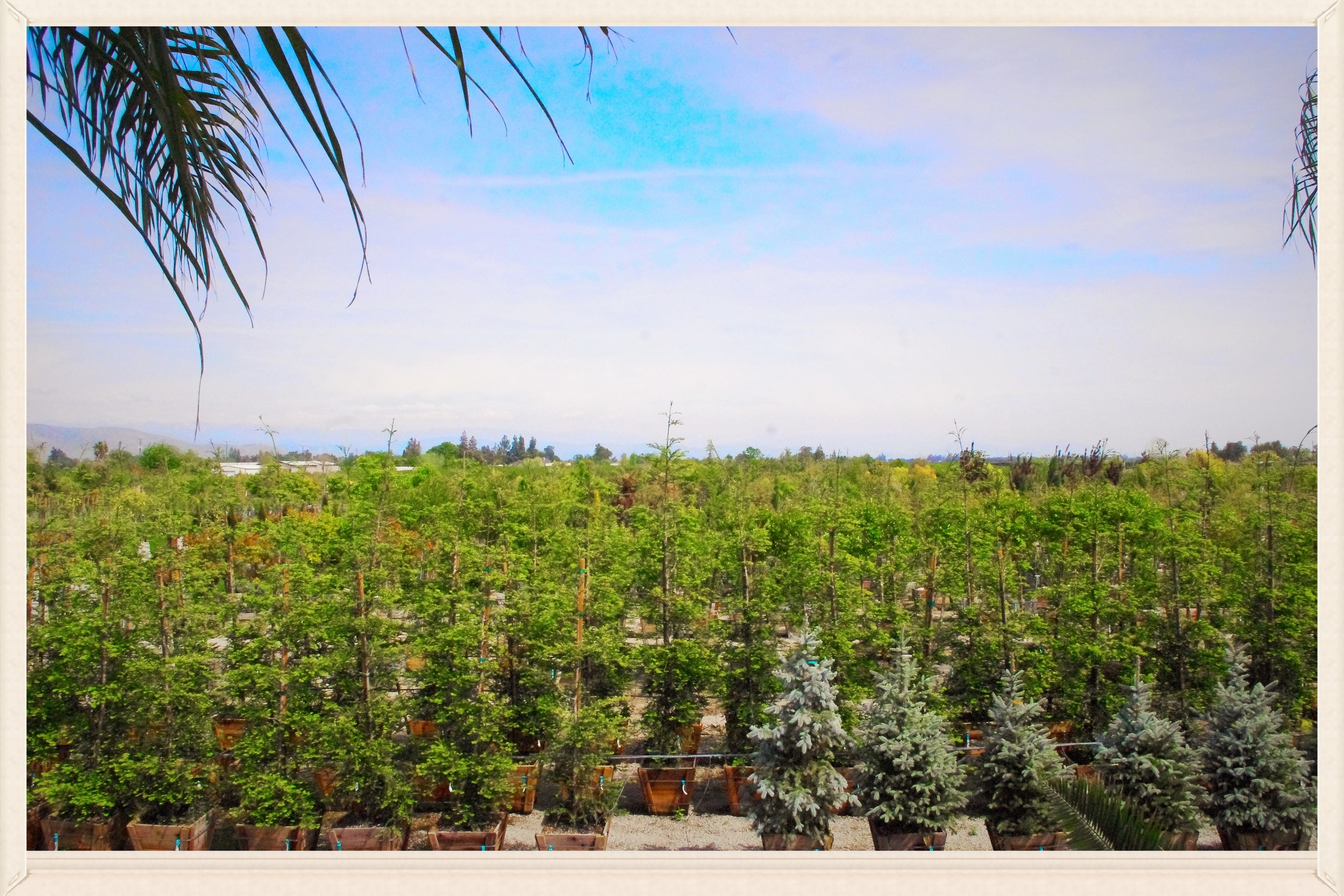 Willow Gardens Nursery has a full stock of boxed and mature trees