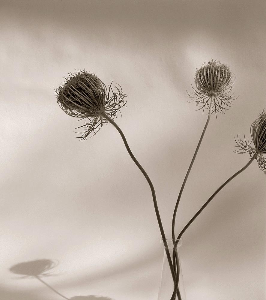 ©HelenJones-Queen Anne's Lace.jpg