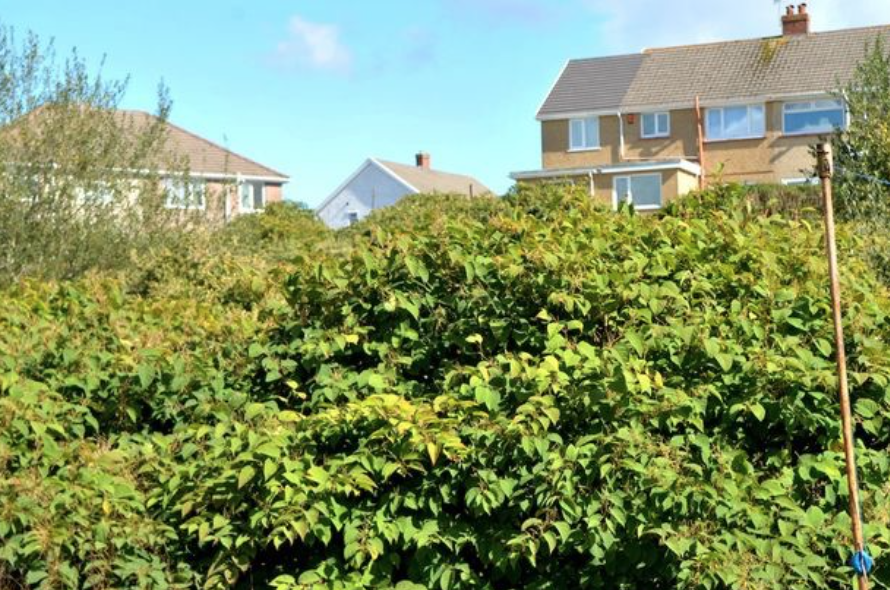 Invasions of Japanese Knotweed have been known to lower property values.