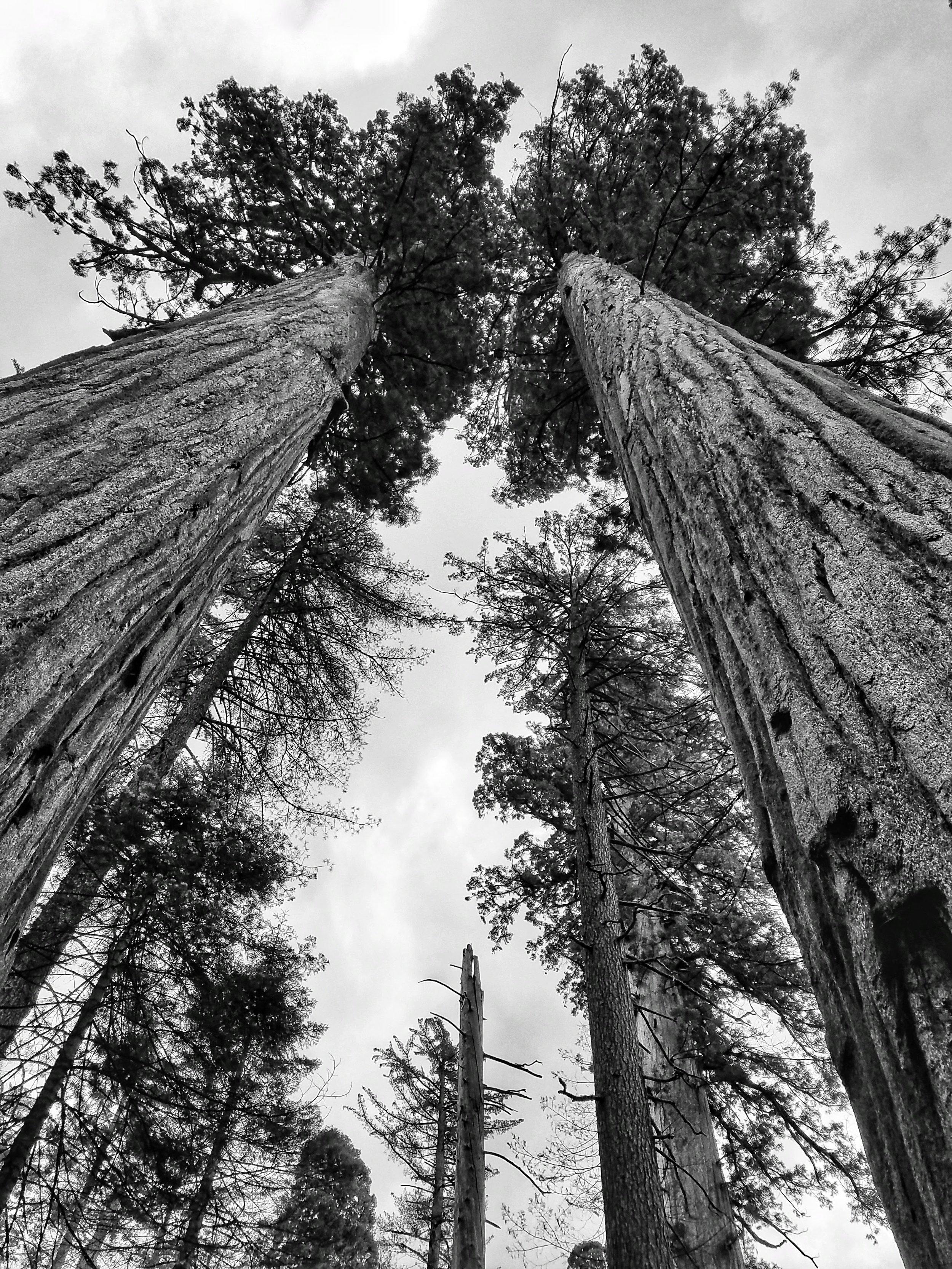 big tree B&W.jpeg