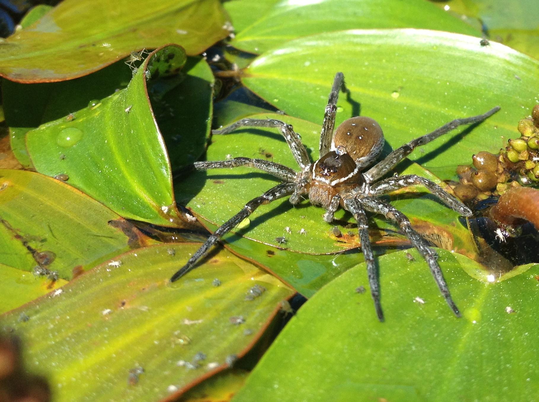 Raft Spider.jpg