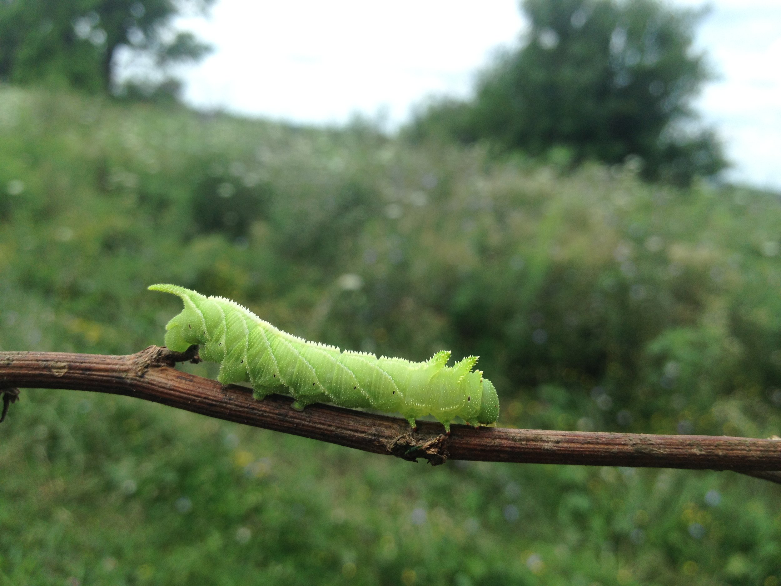 Sphinx Moth caterpillar.JPG