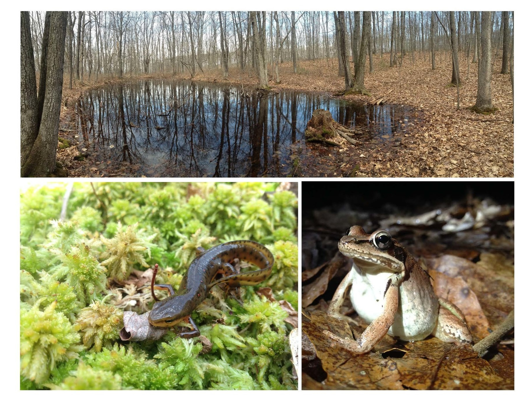 The images at right depict a vernal pool in early spring (top), an eastern newt ( Notopthalmus viridescen,  bottom left) and a female wood frog ( Lithobates sylvatica , bottom right).