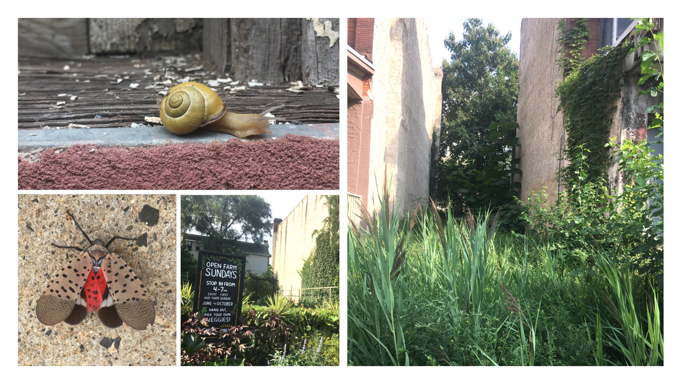 Clockwise from top right: A garden snail found in a West Philly backyard. A vacant lot in Kingsessing, Philadelphia. A small organic urban farm nestled between residences on Chester Avenue. The invasive planthopper, the spotted lanternfly ( Lycorma delicatula ) at an outlet shopping mall in the Philly suburbs.