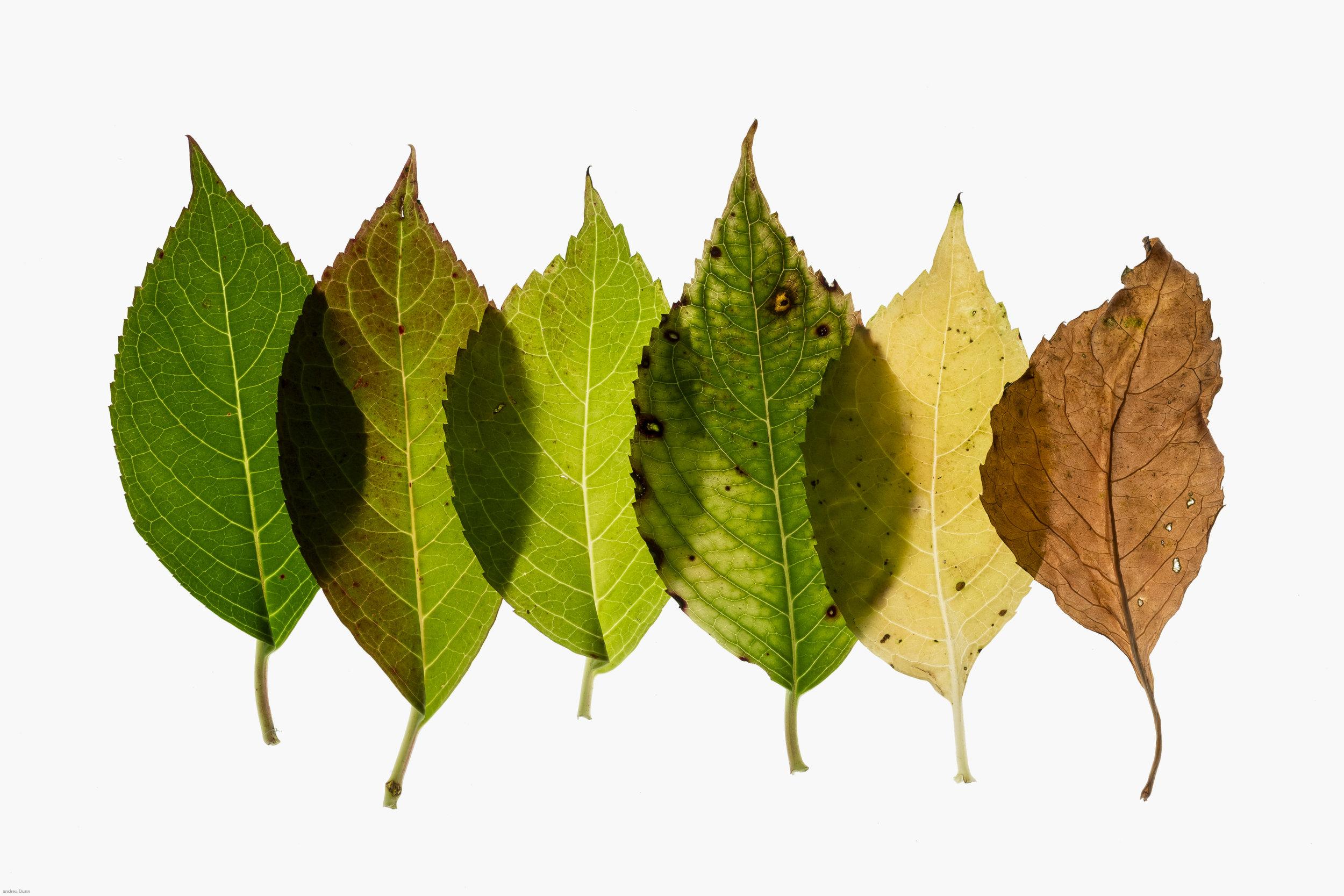 leaf-1.jpg